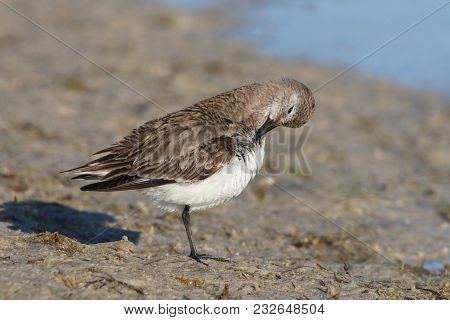 A Dunlin sandpiper, Calidris alpina stands on a mudflat in Florida in winter plumage stock photo