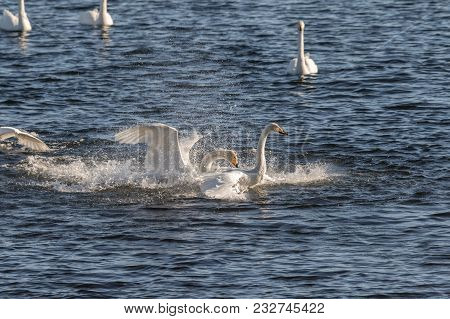 Swans conflict, Whooper swans, Cygnus cygnus, fighting in the water at Lista, Norway stock photo