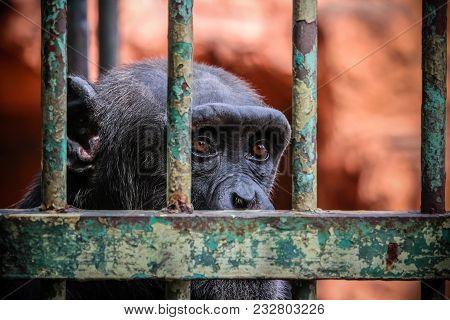 sad imprisoned chimp portrait behind metal bar stock photo