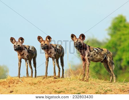 Scenic view of wild dogs (Lycaon Pictus) Painted Dogs standing on topof a sandbank surveying the area after a recent Kill, with a bright blue clear sky background. South Luangwa National Park, Zambia stock photo