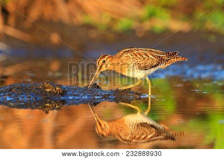 snipe summer morning looking for food in the mud , birds, wildlife and season change stock photo