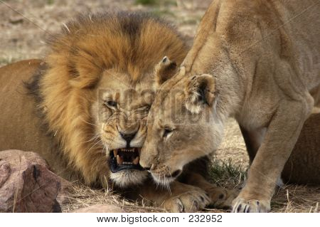 a lion and lioness show a mixture of affection and snarling teeth. stock photo