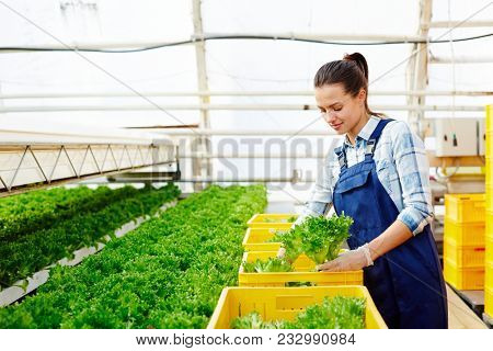 Young hothouse worker in uniform picking up lettuce from plantation and putting it to yellow plastic boxes for market sale stock photo