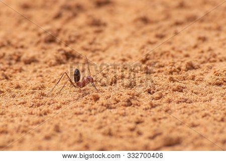 Sahara Desert Ant (Cataglyphis bicolor) running along the sand dunes in Ras al Khaimah, United Arab Emirates. stock photo