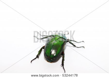 this is a eudicella morgani beetle i've bred myself last year stock photo