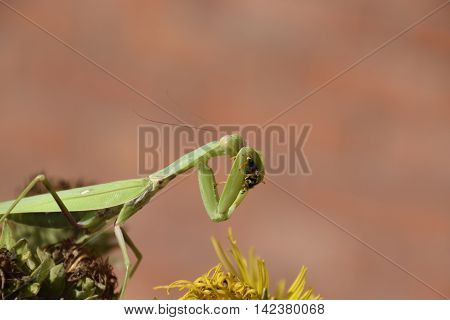 The female praying mantis devouring wasp. The female mantis religios. Predatory insects. Huge green female mantis. stock photo