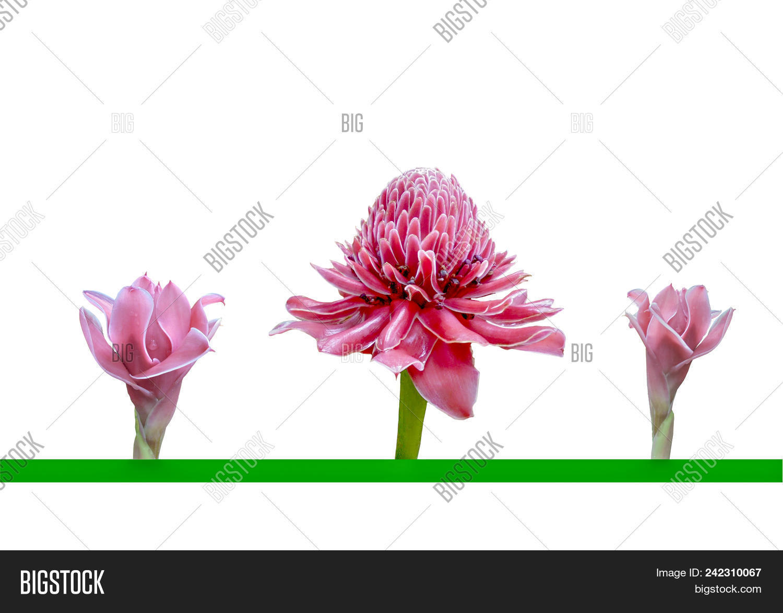Three Gentle Pink Flowers Of Etlingera Elatior Or Torch Ginger Or