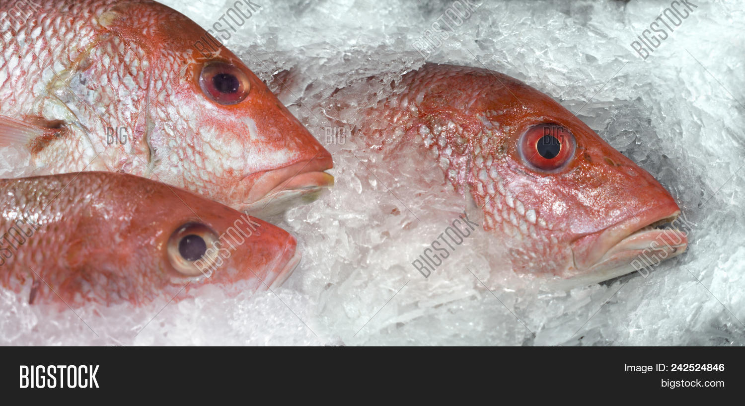 background,california,catch,color,delicious,eating,fish,food,fresh,freshness,horizontal,ice,iced,marine,market,nature,nobody,ocean,raw,red,sale,sea,seafood,shelf,snapper,tasty,uncooked,usa,whole