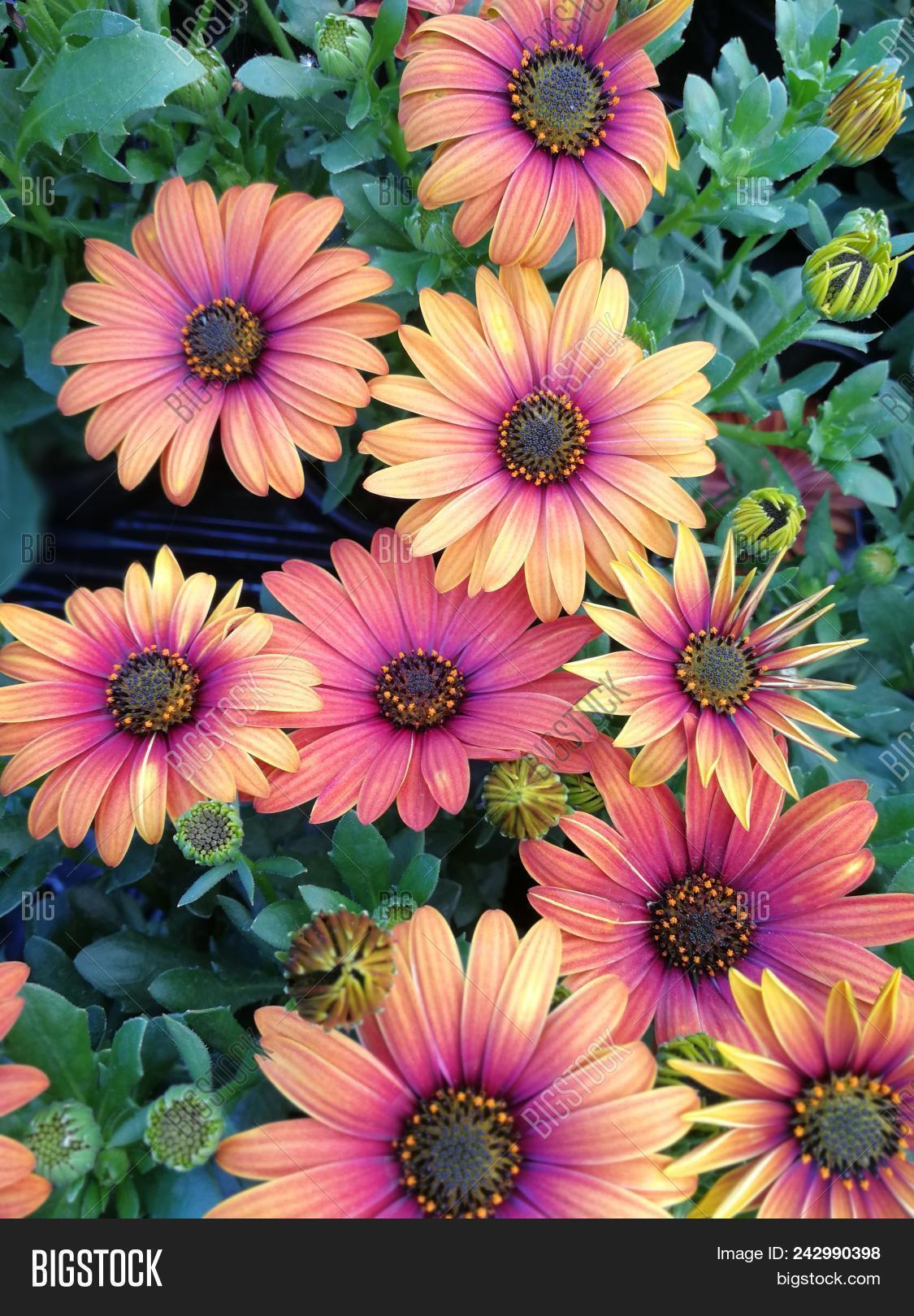 Pretty Yellow And Purple African Daisy Osteospermum Flowers