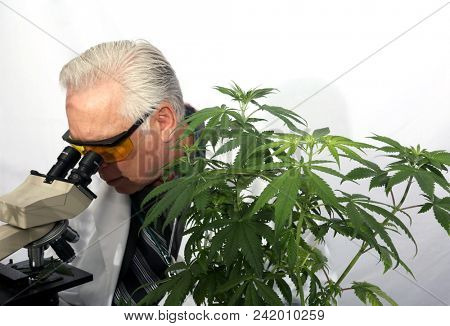 Marijuana Research. A Scientist uses his Microscope to research the Benefits of Marijuana in Medical and Recreational industries.  stock photo