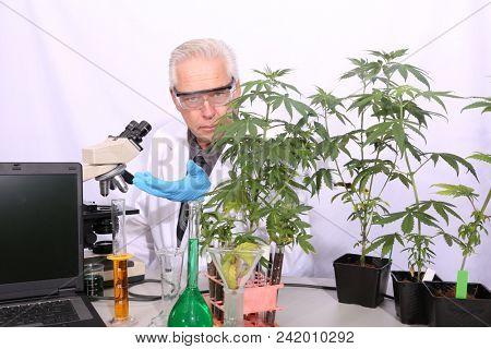 Botanical Research Scientist with Marijuana Plants. stock photo