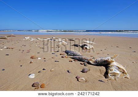 Dead fish on the beach, probably caused by the mixture of fresh and salt water of Rio De La Plata and the atlantic ocean, Uruguay, South America stock photo