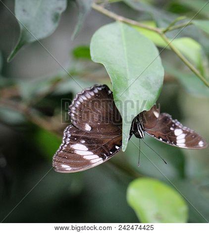 Euploea core a noblefolk (Nymphalidae) on a leaf stock photo