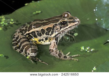A Pickerel Frog, Rana palustris, sitting on a lilypad in a shallow pool of water stock photo