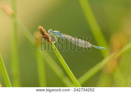 The Dainty damselfly-Coenagrion scitulum, also known as the dainty bluet, is a blue damselfly of the family Coenagrionidae, are Odonata (dragonflies & damselflies)  stock photo