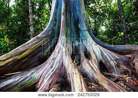 Rainbow Eucalyptus tree in Maui island, Hawaii stock photo