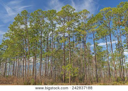 Longleaf pines in the Okefenokee Swamp in Georgia stock photo