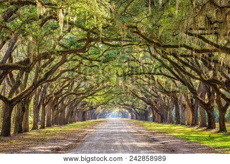 Savannah, Georgia, USA oak tree lined road at historic oak lined dirt road.