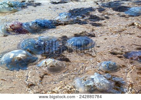 Dead jellyfish (Rhizostoma) washed ashore on sea shore at sun summer day stock photo