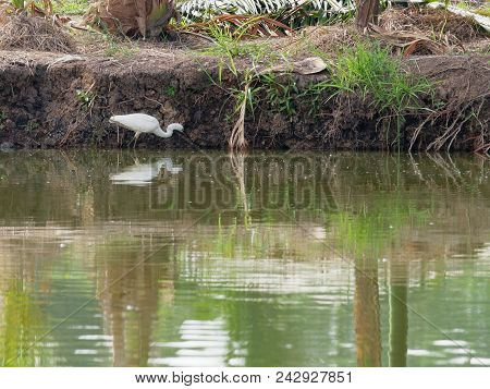White great egret bird stalking and wading for hunting fish by fish pond in fish farm with reflection in water stock photo