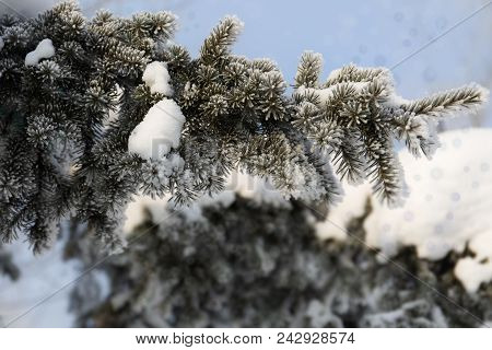Snow-cowered fir branches. Cold winter forest background. Frost stock photo