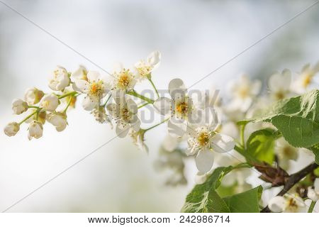 Branch with flowers of a bird cherry close up. An indistinct green background, selective focus, white flowers on a tree in the spring stock photo