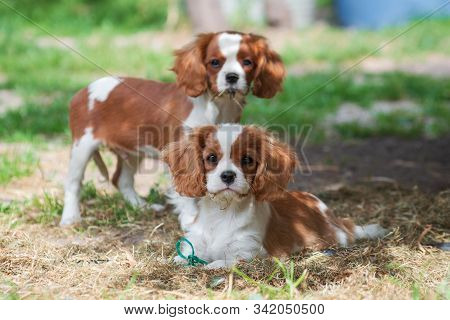 Adult dog of the Cavalier King Charles Spaniel breed, red and white, long-haired, sitting in the summer outdoors on a white plaster balustrade, against a background of green trees stock photo