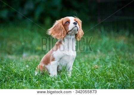 Young Cavalier King Charles Spaniel dog, red & white, long-haired, lying on the ground outdoors in summer with the ear turned inside out stock photo