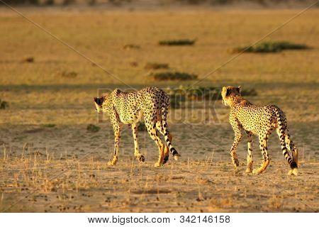The cheetah (Acinonyx jubatus) feline with her cub walking across the sand in Kalahari desert in the evening sun.  Hunting cheetahs in golden sun. stock photo