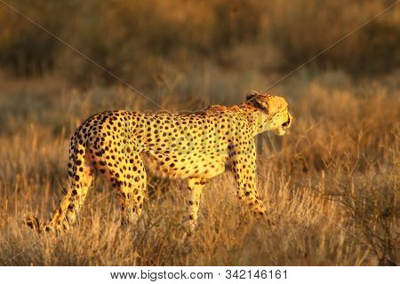 The cheetah (Acinonyx jubatus) feline walking across the sand way in Kalahari desert in the evening sun. Cheetah female in the evening sun. Cheetah female before hunt. stock photo