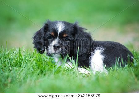Two puppies of breed Cavalier King Charles Spaniel, black and white, long-haired, sitting in a wicker basket in the summer outdoors among a green shrub stock photo