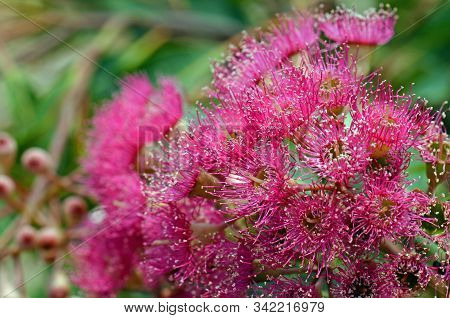 Pink blossoms and buds of the Australian native Corymbia graft, family Myrtaceae. Cultivar of Corymbia ficifolia which is endemic to Western Australia stock photo