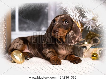 Puppy dachshund, New Year's puppy, Christmas dog stock photo