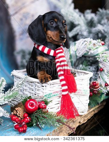 Puppy dachshund; New Year's puppy; Christmas dog; stock photo