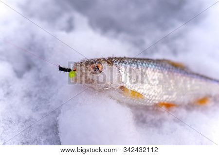 Caught in the winter catch angler fish roach lies on the ice with the bait jig in his mouth on the line. stock photo