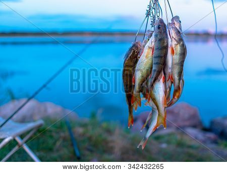 A lot of fish hanging perch caught by angler Fish Stringer on the background of evening sunset on the lake and fishing rods spinning on a chair. stock photo
