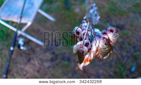 Caught perch anglers on Fish Stringer face down on the background of grass in the field of fishing rods spinning on a chair. stock photo