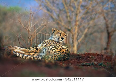 The Cheetah (Acinonyx jubatus), also as a hunting leopard resting on red soil. Adult elderly male cheetah lying on a hill of red clay. Wildlife photo from a position from the ground. Eye-to-eye look with cheetah. stock photo