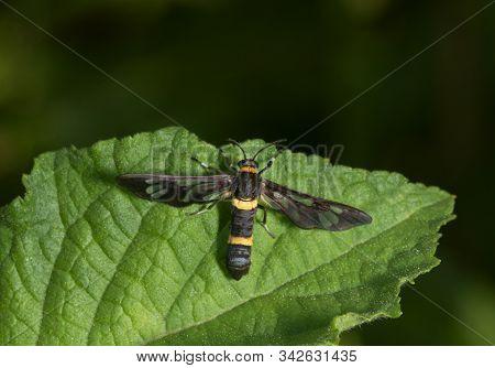 Amata Cysseus, the handmaiden moth at Garo Hills in Meghalaya, India stock photo