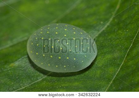 Limacodid Slug Caterpillar on leaf at Thane, Maharashtra, India stock photo