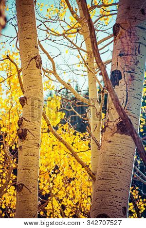 Closeup of the golden yellow leaves of aspen trees tree during fall with sunlight passing through them. stock photo