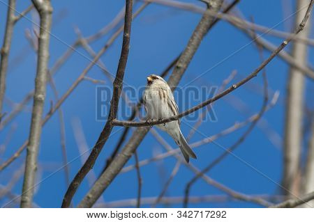 The Arctic redpoll on the branch in winter stock photo