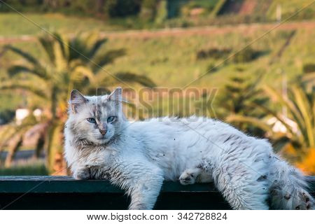 White cat with a dirty fur, lying on a rubbish bin. Bright blue eyes. Palm trees and ground in the background. Agua de Pau, Sao Miguel, Azores Islands, Portugal. stock photo