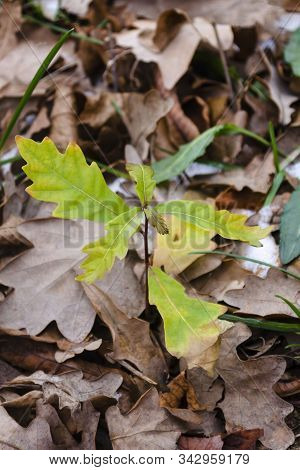 Young oak grow in the forest. Green leaves of small oak against the background of old yellow leaves of red oak. Photo from nature. The concept of a new life stock photo