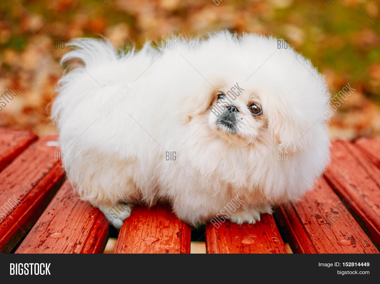 White Pekingese Pekinese Peke Whelp Puppy Dog Sitting On Wooden Bench In Autumn Park