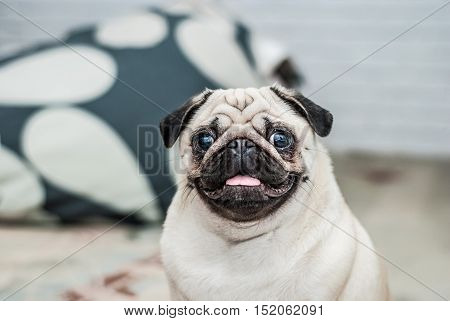 Happy dog. Portrait of a pug. Pleased muzzle. Happy pug. Dog smile. A dog with his tongue hanging out. A dog in the apartment.