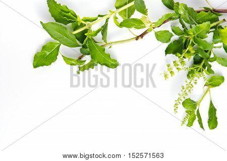 Basil leaf herb border (Other names are Ocimum basilicum great basil Saint-Joseph's-wort Basil Lamiaceae thyrsiflora lemon basil citriodorum holy basil Ocimum tenuiflorum) stock photo