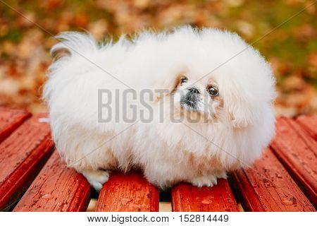 White Pekingese Pekinese Peke Whelp Puppy Dog Sitting On Wooden Bench In Autumn Park stock photo