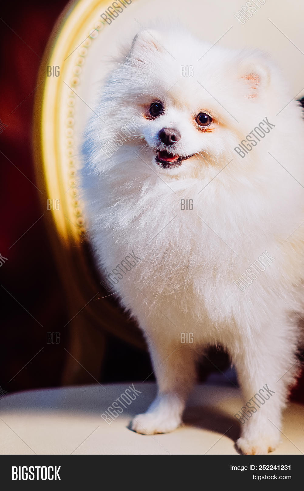 Cute Pomeranian Dog Resting On A Leather Chair After Shearing Toned