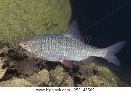 Underwater close up photography of the freshwater roach fish (Rutilus rutilus). Wild life animal in the river habitat. stock photo